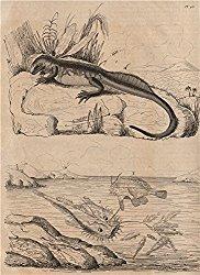 Plumed basilisk. Baudroie (Monkfish). Batrachoides (Pacuma toadfish) – 1834 – old print – antique print – vintage print – Reptiles art prints
