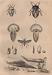 Tessaratomidae. Testacella Cryptella slugs. Tetanocera. Tethys fimbria – 1834 – old print – antique print – vintage print – Insects art prints
